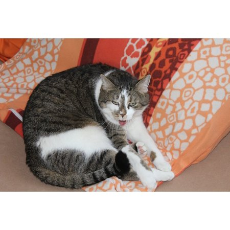 Laminated Poster Straighten Out Cat Tongue Bed Tired Poster Print 24