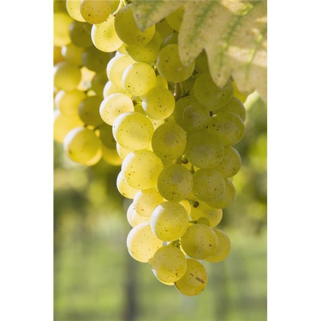 Posterazzi DPI1868003 White Grapes Poster Print, 12 x 19 - image 1 de 1