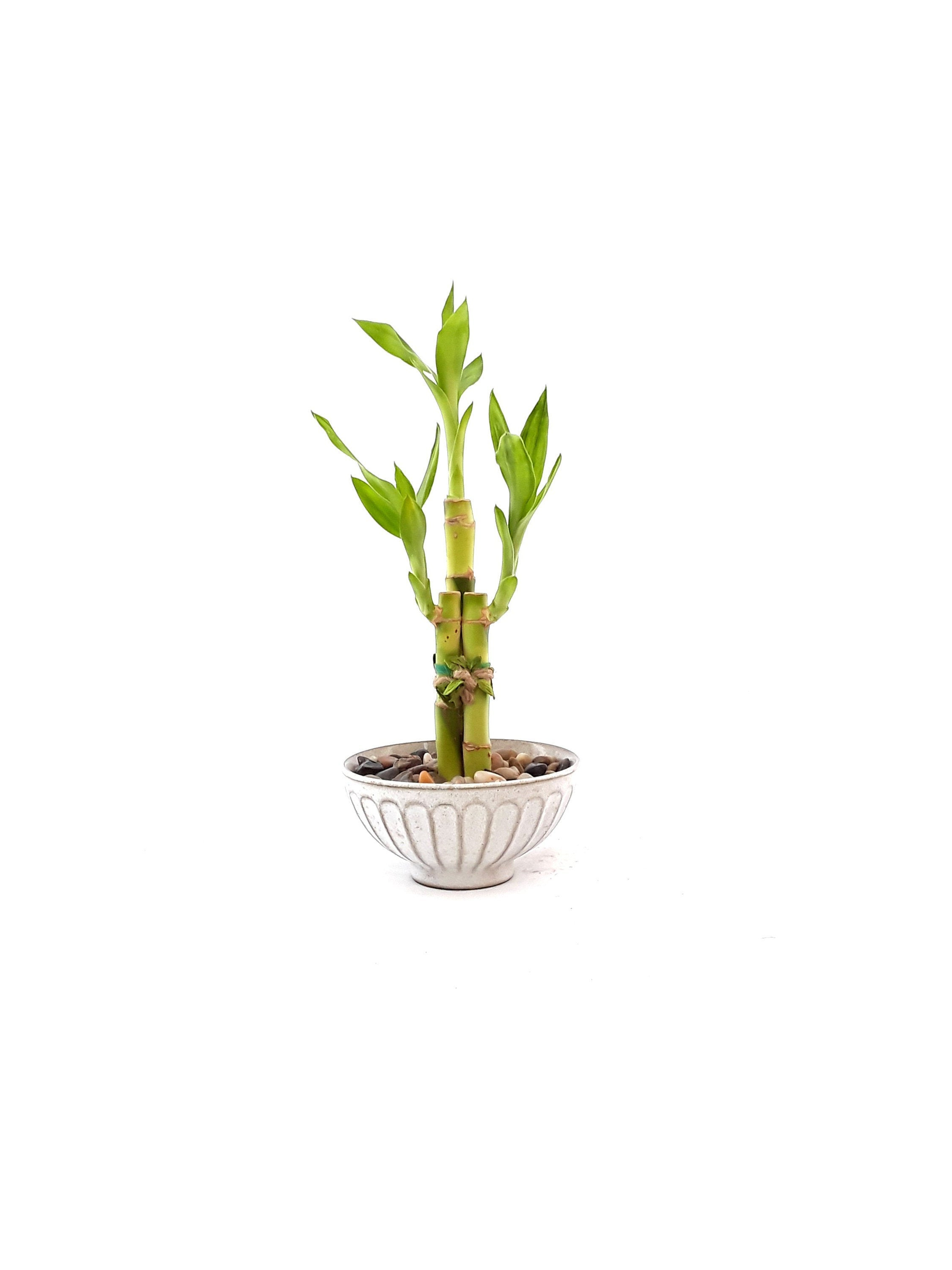 wedding deco Housewarming Unique birthday holiday gift Indoor plant Lucky Bamboo in a floral Pot planter