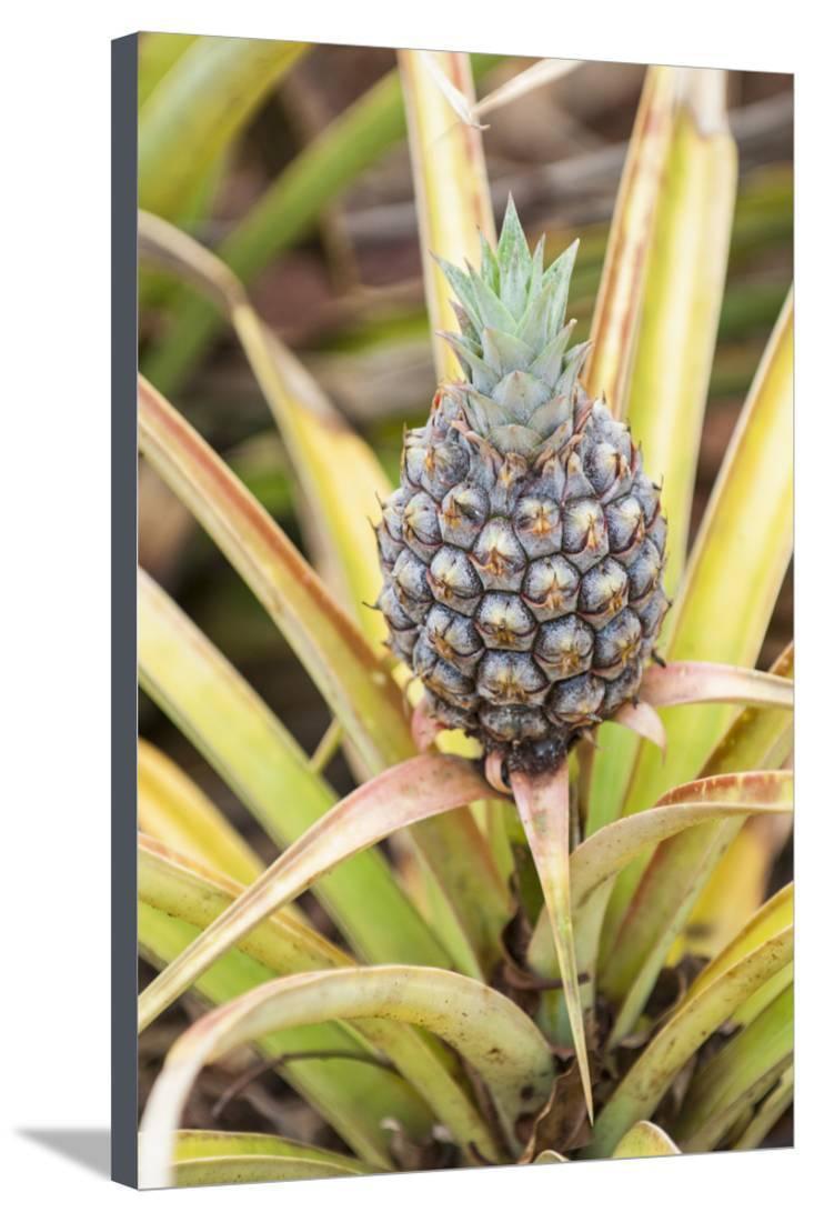 Art print POSTER CANVAS Dole Pineapple Plantation