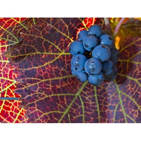 Pinot Noir Leaves in Knudsen Vineyards, Willamette Valley, Oregon, USA Print Wall Art By Janis