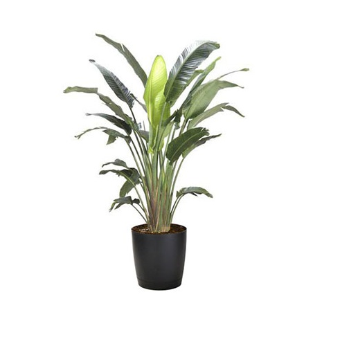Image of White Bird Of Paradise In 10 Inch Pot