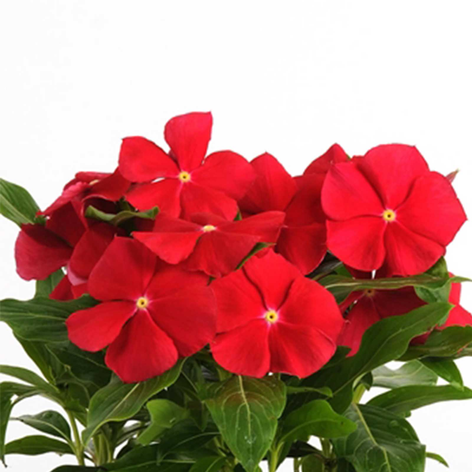 Vinca Flower Garden Seeds - Pacifica XP Series - Color Mix - 1000 Seeds - Annual Flower Gardening Seed