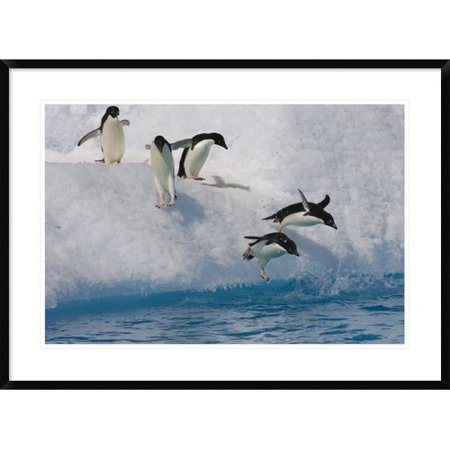 Global Gallery Adelie Penguin Group Jumping And Diving Off Iceberg Into Cold Water  Paulet Island  Antarctica Framed Photographic Print