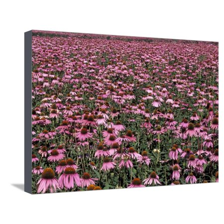 Trout Lake with Echinacea Flower Field, Washington, USA Stretched Canvas Print Wall