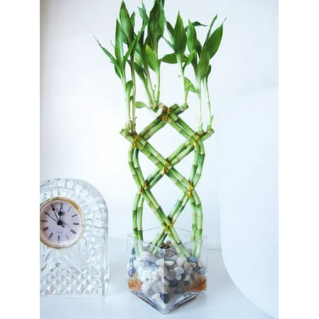 9GreenBox - Live 8 Braided Lucky Bamboo Plant Arrangement w/ Pebble &