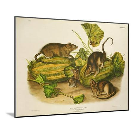 Norway Rat (Brown, or Norway Rat, Engraved by John T. Bowen (1801-C.56) Published 1845 Wood Mounted Print Wall Art By John James Audubon)
