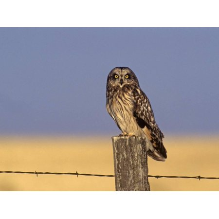 Short-Eared Owl (Asio Flammeus) on a Fence Post, North America Print Wall Art By Tom Ulrich - Fence Post Art