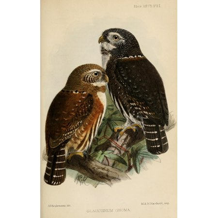Ibis 1886 Northern Pygmy Owl Canvas Art   John G Keulemans  24 X 36