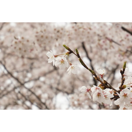 Japanese Cherry Wood (LAMINATED POSTER Japan Flowers Wood Cherry Pink Poster Print 24 x 36 )