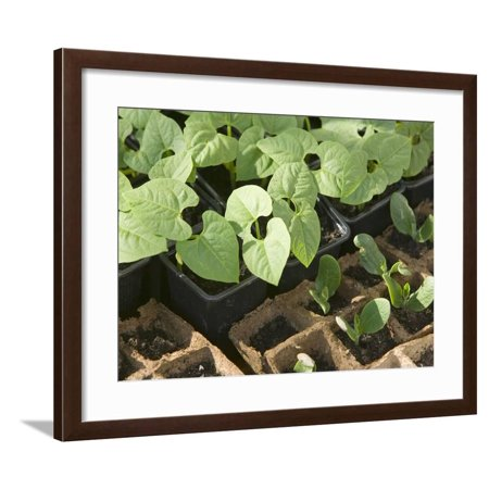 Bean Seedlings in Trays before Planting in a Garden Framed Print Wall Art By Ashley Cooper