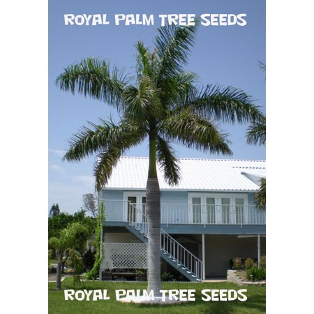10 Royal Palm Tree Seeds (Bamboo Palm Seeds)