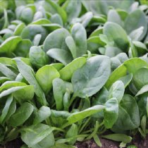 Image of Seeds Of Change Spinach, Corvair