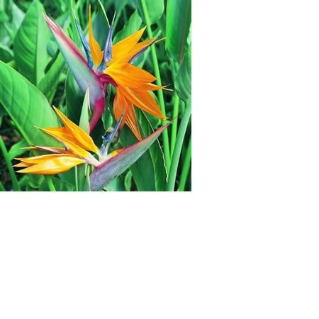 Bird of Paradise Hawaiian Starter Plant - Approx. 4 - 6 Inches - Potted in a 2.5 Inch Container - No (Hawaiian Center)