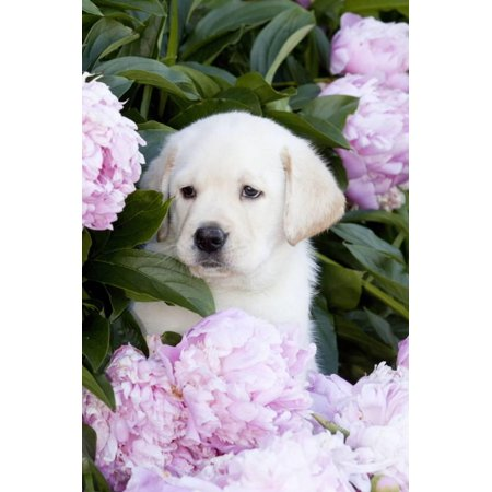 Yellow Labrador Retriever Pup in Pink Peonies, Maple Park, Illinois, USA Print Wall Art By Lynn M. (Pup Parka)