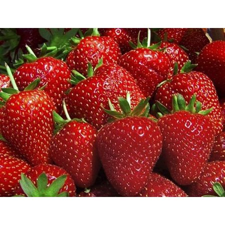 25 Eve Everbearing Strawberry Plants - BEST BERRY! - Bare Root