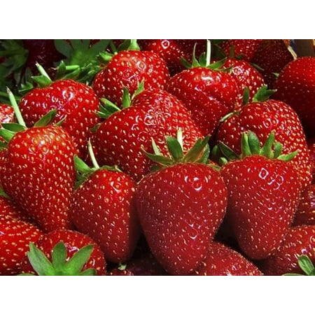 25 Eve Everbearing Strawberry Plants - BEST BERRY! - Bare Root (Best Pumpkin Seeds To Plant)