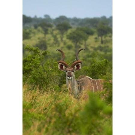 Male greater kudu Kruger National Park South Africa Canvas Art - David Wall  DanitaDelimont (12 x 17) ()