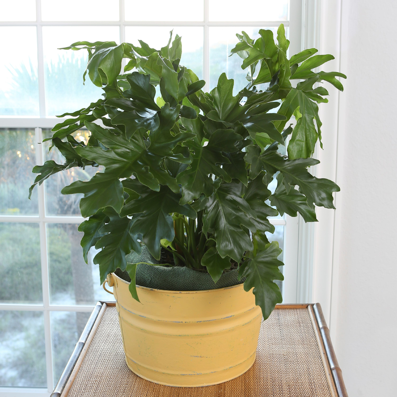 Delray Plants Live Philo Selloum Indoor Plant In 10 Inch