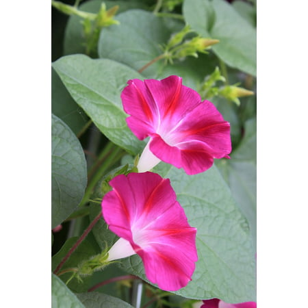 LAMINATED POSTER Vine Morning Glory Flowers Poster Print 24 x 36