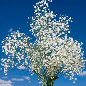 Globalrose 60 Stems Of Fresh Cut Gypso Perfecta Fillers   Babys Breath Fillers   Fresh Flowers Wholesale Express Delivery
