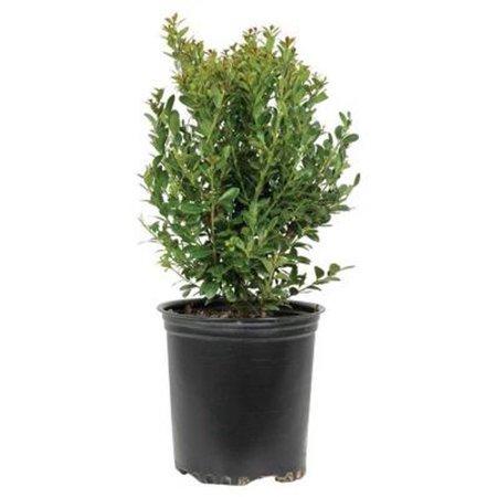 Japanese Compacta Holly (Ilex crenata), Evergreen (Ilex Nellie R Stevens Evergreen Holly Shrub)