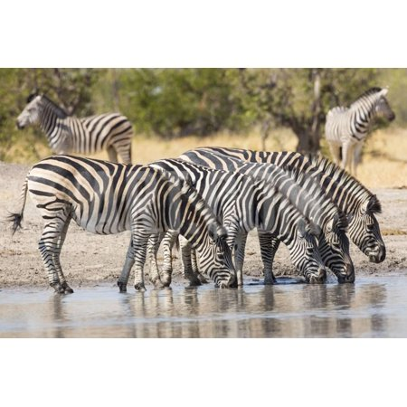 Herd of Plains Zebra (Equus Burchellii) Drinking in South Africa Print Wall Art By Stu Porter