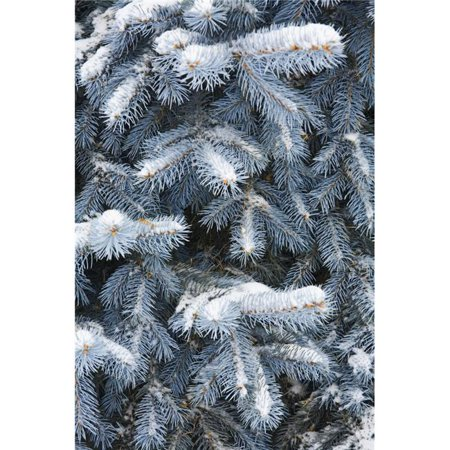 Blue Spruce Branches Covered in Snow Poster Print by Carson Ganci, 22 x 34 - Large - image 1 de 1