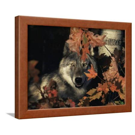 Grey Wolf Portrait with Autumn Leaves, USA Framed Print Wall Art By Lynn M. Stone ()