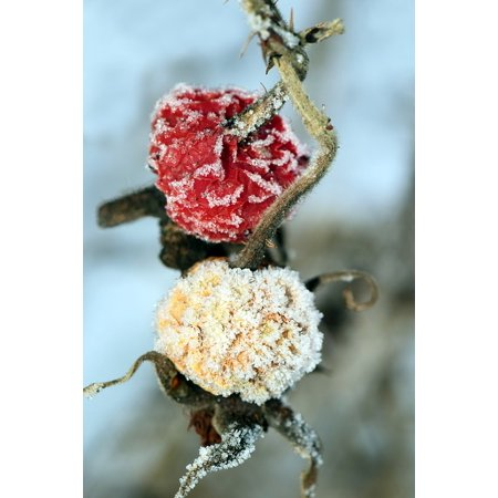 Rose Hip Frozen Berries Berries Frozen Rosehips-11 Inch By 17 Inch Laminated Poster With Bright Colors And Vivid Imagery-Fits Perfectly In Many Attractive Frames Rose Hip Berry