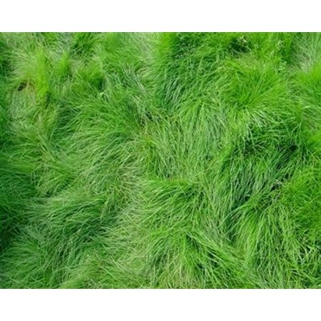- SeedRanch Creeping Red Fescue Grass Seed - 5 Lbs.