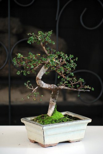 Chinese Elm Bonsai Tree by 9Greenbox