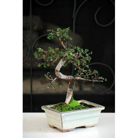 (Chinese Elm Bonsai Tree)