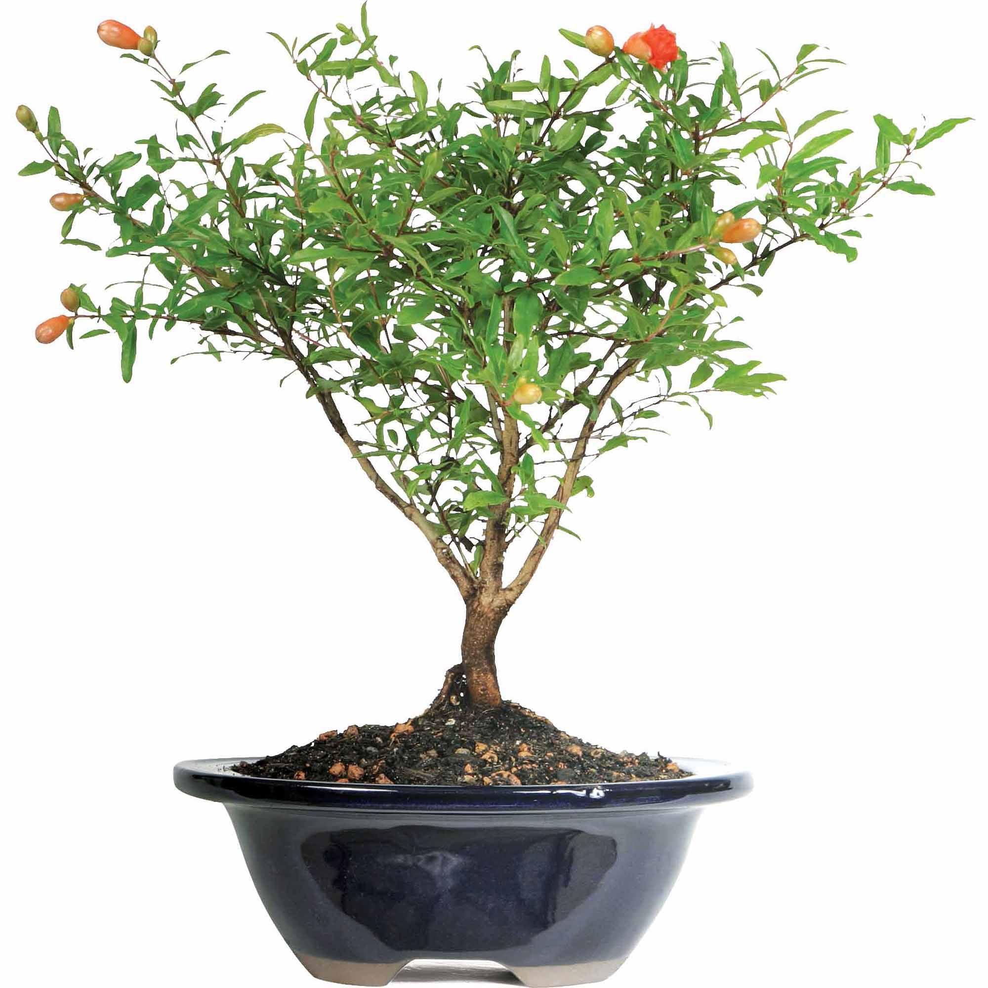 Pomegranate Bonsai Tree Walmart