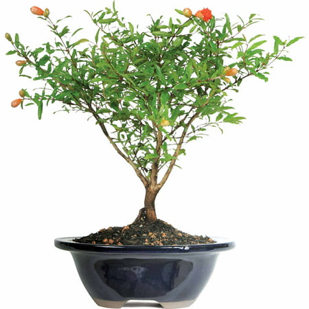 Outdoor Bonsai Tree - Pomegranate Bonsai Tree