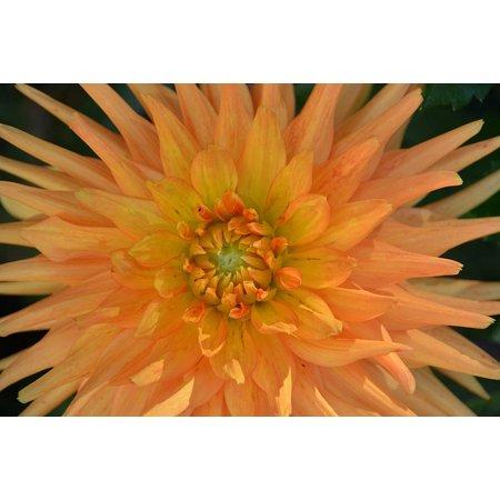 Canvas Print Flowering Flora Plant Botany Flower Chrysanthemum Stretched Canvas 10 x 14 Chrysanthemum Flower Pictures