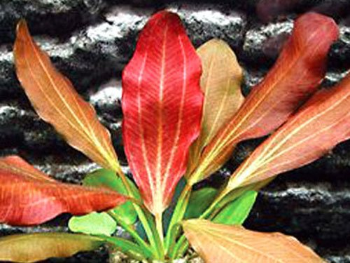 Red Flame Sword Beginner Tropical Live Aquarium Plant by Aquarium Plants & Pets
