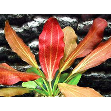 Tropical Fish Inflate (Red Flame Sword - Beginner Tropical Live Aquarium Plant )