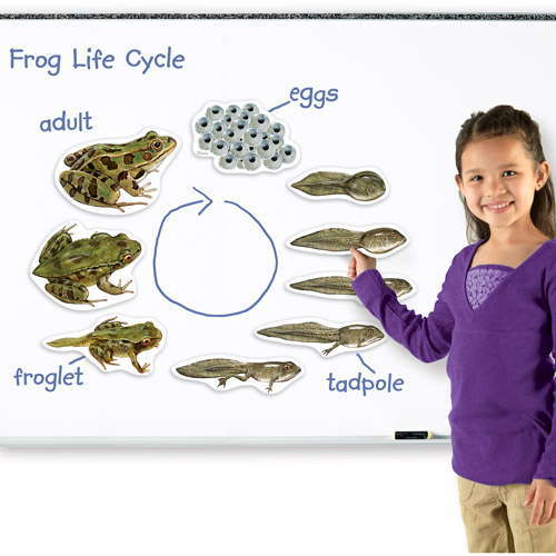 Learning Resources Giant Magnetic Frog Life Cycle