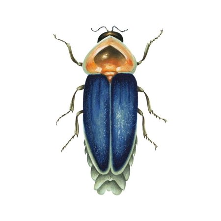 Insect Wall (Male Firefly (Lampyridae), Insects Print Wall Art By Encyclopaedia)