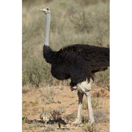 Common Ostrich (Struthio Camelus) Male with Two Chicks Print Wall Art By James (Ostrich Chicks)