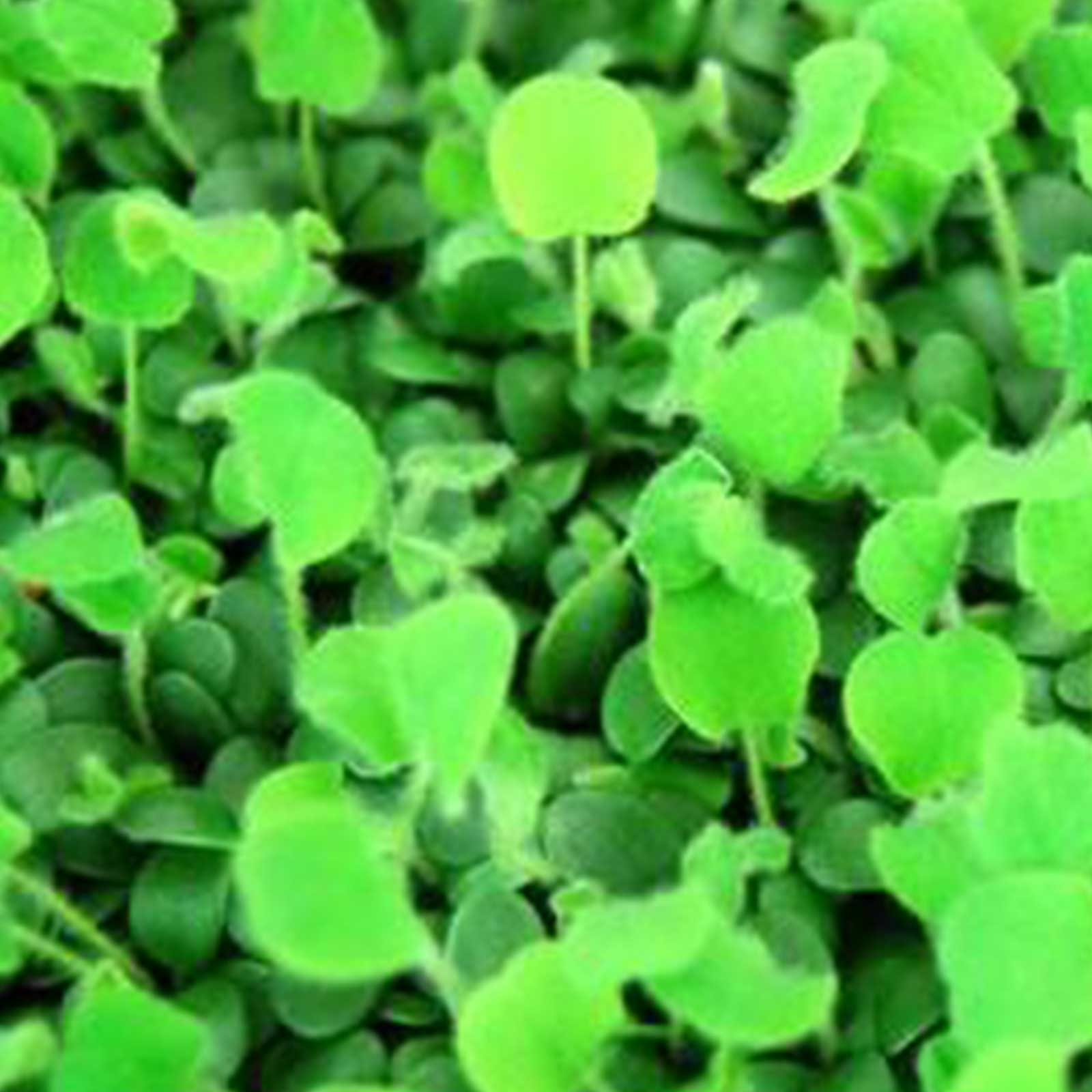 Red Clover Seeds: 4 Oz Non-GMO Sprouting Seeds for Growing Microgreens by Mountain Valley Seed Company