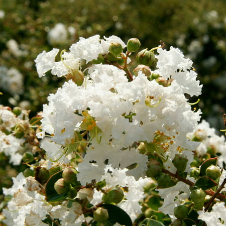 Image of 2 Gal - Early Bird White Crapemyrtle - White Blooms Late Spring through Fall - Deciduous Shrub