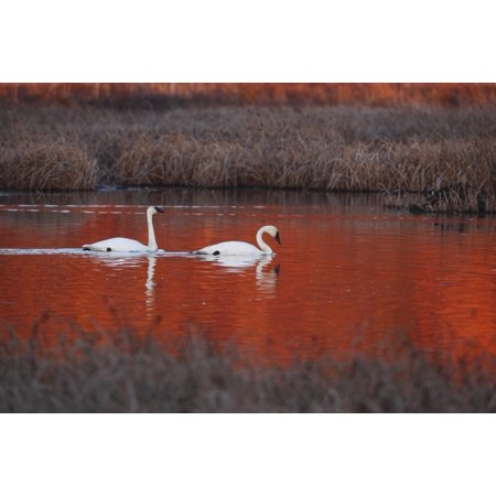 Pair Of Trumpeter Swans Swim In Potter Marsh At Sunset With Sun Casting A Deep Red Color On The Water Anchorage Southcentral Alaska Autumn PosterPrint