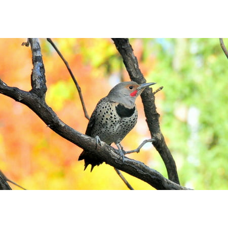 Canvas Print Wildlife Perched Woodpecker Bird Northern Flicker Stretched Canvas 10 x 14 (Northern Flicker Woodpecker)