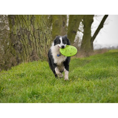 Framed Art for Your Wall Frisbee Dog Run Border Collie Play 10x13 Frame Border Collie Dog Photo