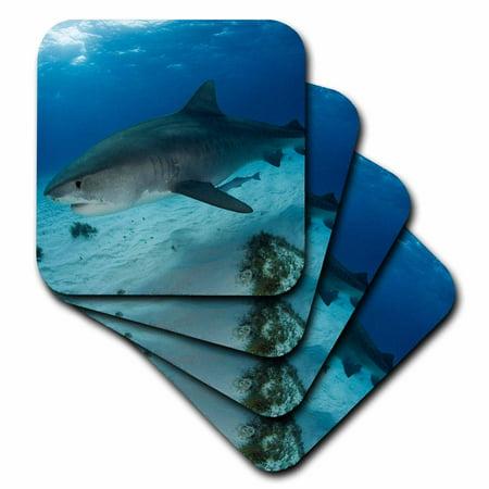 3dRose Tiger Shark, Galeocerdo cuvier, Tiger Beach, Freeport, Bahamas, Atlantic Ocean - Soft Coasters, set of 4