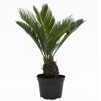 Delray Plants Sago Palm (Cycas revoluta) Easy to Grow Live House Plant, 6-inch Grower Pot
