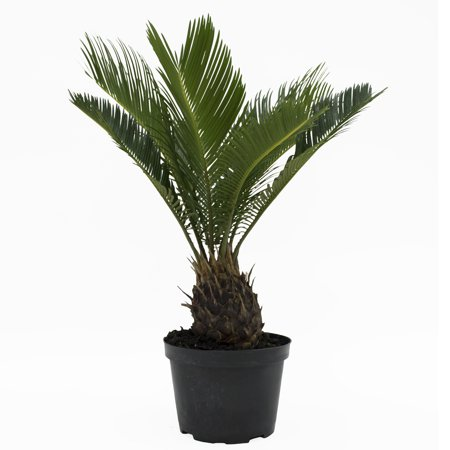 Image of Delray Plants Sago Palm (Cycas revoluta) Easy to Grow Live House Plant, 6-inch Grower Pot