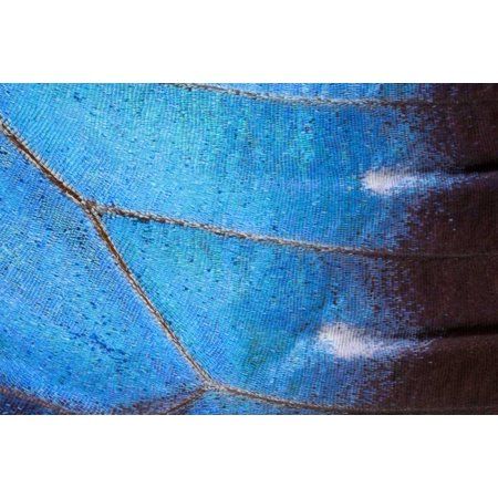 Blue Morpho butterfly wing Costa Rica Poster Print by Ingo Arndt